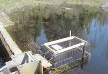 Up the chute and into the pen alewives go