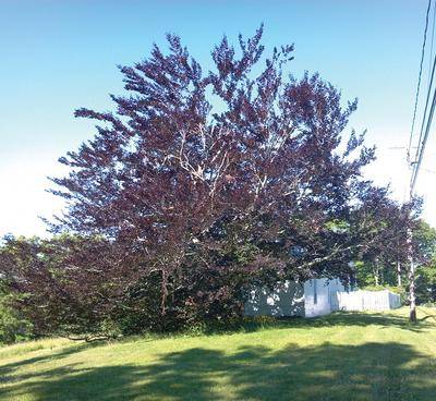 Copper trees thrive in Maine