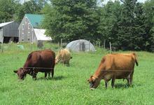 Three cows graze at Quill's End Farm