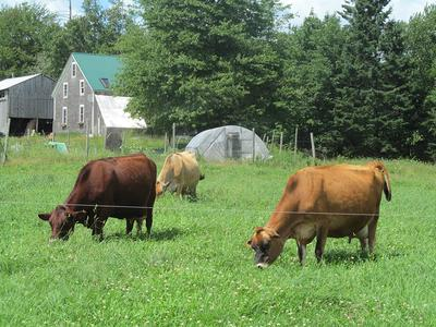 Three cows graze at Quill's End Farm