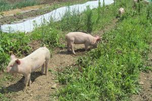 Piglets help till the garden