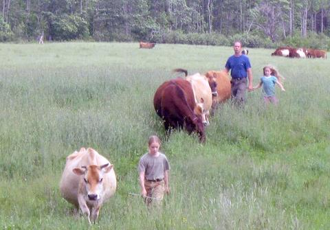 Bringing in the cows at Quill's End Farm