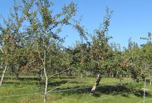 Orchard is home for a variety of apples