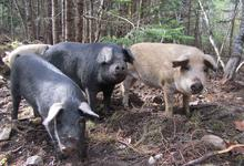 Three not so little pigs