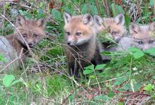 Foxy Deer Isle