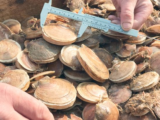 Measuring scallops