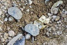 Baby turtles hatch at Parker Ridge