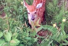 Young deer in Brooksville
