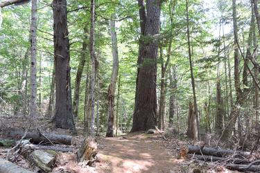 Giant trees along the path