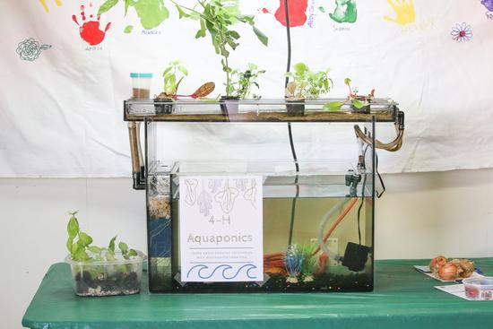 4-H aquaponics