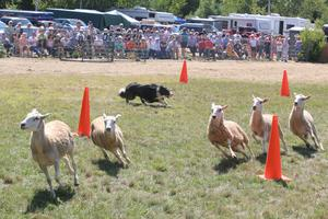 Blue Hill Fair Sheep Trials