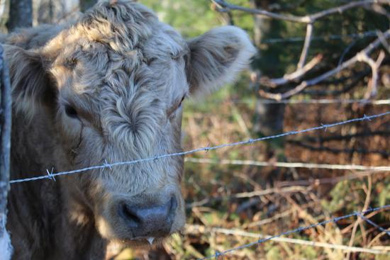 Half-Hereford, half-Angus cow