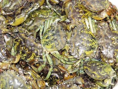 Green crabs, trapped