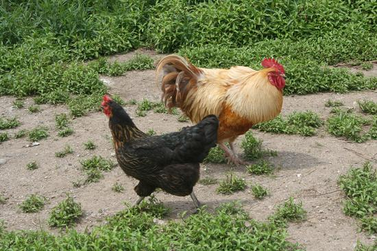Chickens at the Horsepower Farm