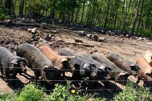 Pigs pastured at Timberwyck Farm