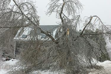 Tree cracks in Penobscot due to ice storm