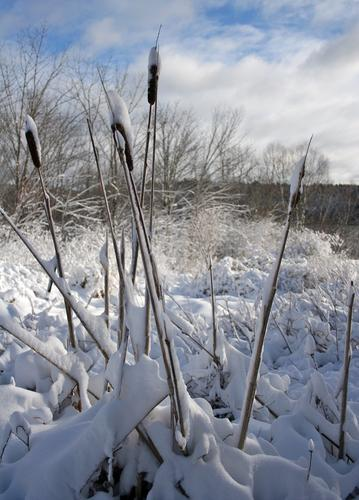 Cattails stand tall in a snowy field