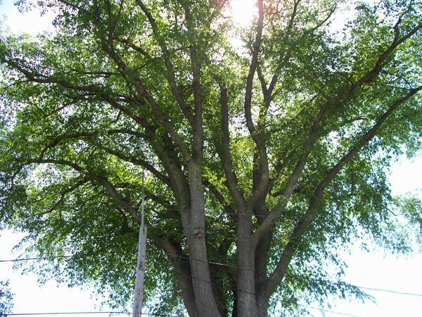Elm tree #18, on Court Street near Pleasant