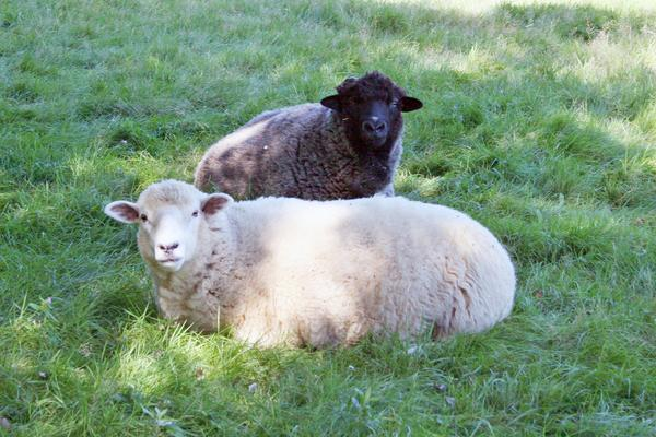 Rescued sheep Rocky and Adrienne at Peace Ridge Sanctuary in Penobscot
