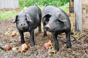 Piglets at Yellow Birch Farm