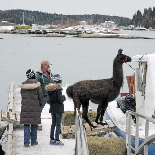 Maxwell the llama stands stubbornly on the ramp
