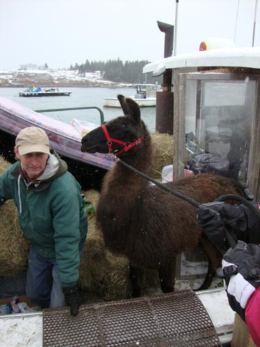 John Dewitt helps to get Maxwell the llama off the lobster boat