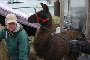 John Dewitt helps to get Maxwell the llama off the lobster boat