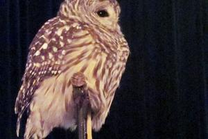 Birdsacre owls at Winterfest in Deer Isle