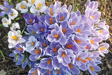 Crocuses in Stonington