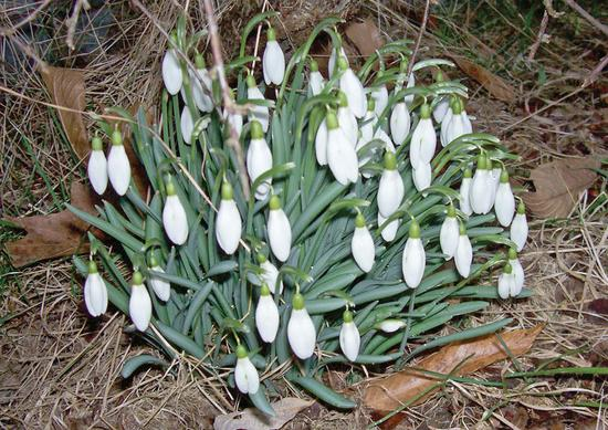 Snowdrops, the first flowers of Spring