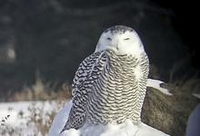 Brooklin owl gets counted in annual bird survey