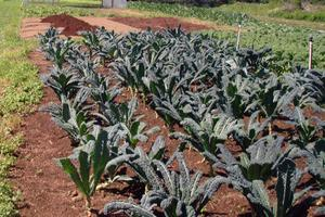 A bed of kale at Blue Zee Farm