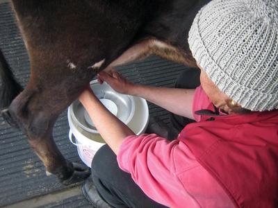 Milking at Bagaduce Farm