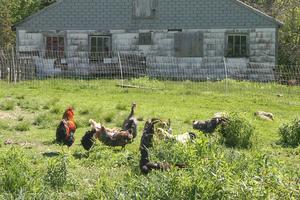 Timberwyck Farm poultry